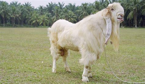 Bibit Kambing Terbaru cara memilih bibit kambing indukan yang baik dan berkualitas