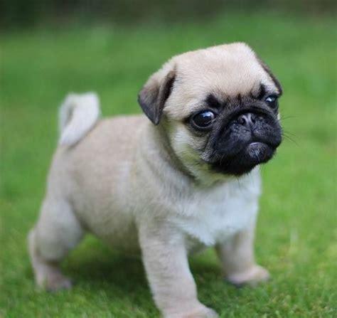 pug no 30 perros cachorros m 225 s adorables y tiernos de todo el mundo