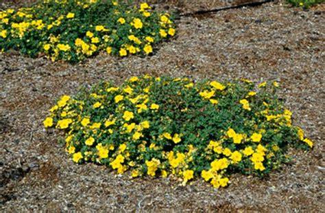 low growing flowering shrubs for sun flowering ornamental plant of the week potentilla