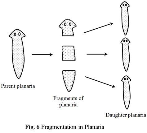 fragmentation diagram fragmentation and regeneration