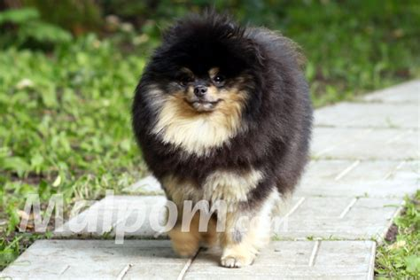 starfire pomeranians pomeranians malpom pomeranian kennel photo description puppies shows