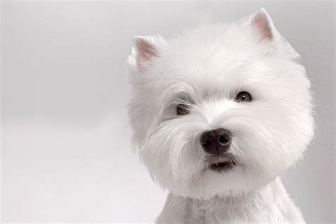 black west highland terrier puppies for sale west highland white terrier dog breed information
