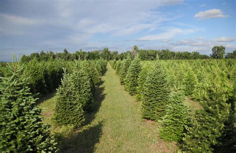 the delp christmas tree farm is a family affair kansas