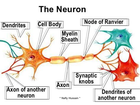 neuro cell or neuron cell