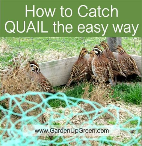 raising quail backyard raising quail backyard 28 images 17 best ideas about