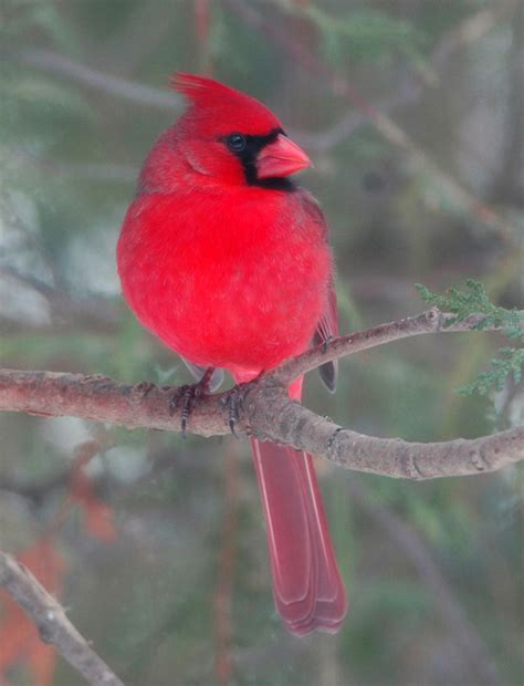 adult size of northern cardinal
