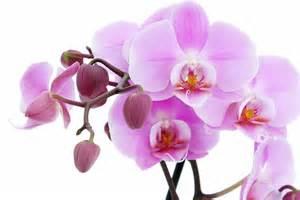 pink orchids attractive pink orchids wallpaper beautiful desktop wallpapers 2014