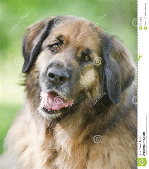 leonberger puppy price leonberger stock photo image of canine brown mammal 24347346