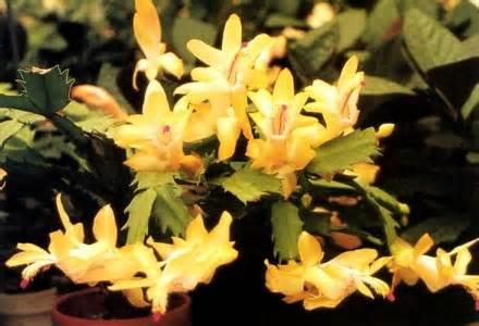 Details about rare yellow christmas cactus plant zygocactus 2 5
