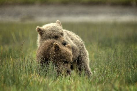 grizzly bear cubs playing freelargephotos com