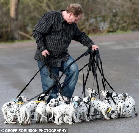 largest litter of puppies spot the difference owner of world s litter of dalmatian pups takes all