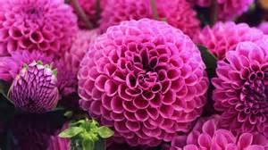 flower images wallpaper dahlia pink flora blossom hd 4k flowers 2059
