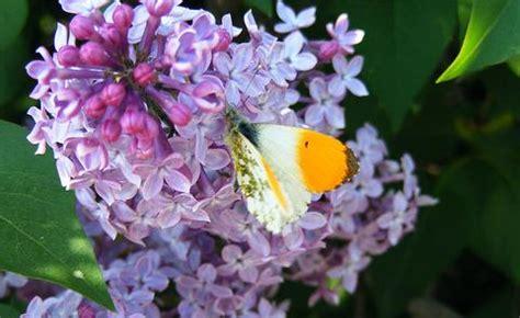 fiori di lilla lill 224 il fiore di primavera che cura l ipertensione e