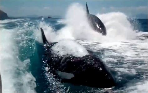 whale boat video killer whales chasing boat video