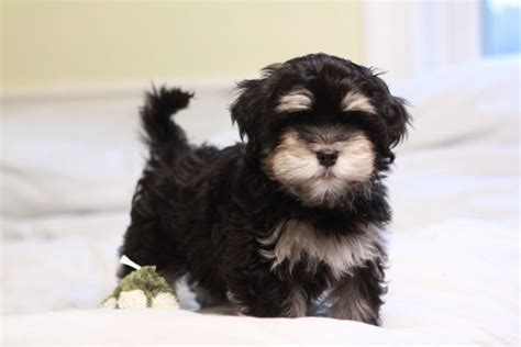 gold havanese alvin the great black havanese puppy unavailable akc havanese puppies