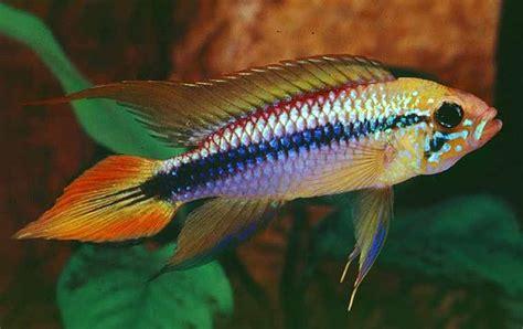 Ikan Apisto Agassizi Gold Apistogramma Agassizi Gold agassiz s cichlid apistogramma agassizii tropical fish keeping
