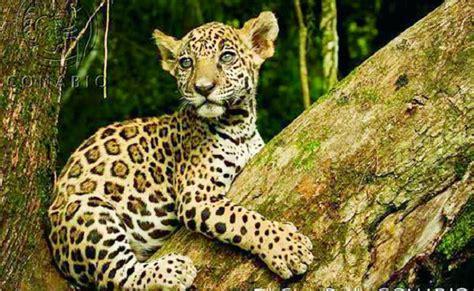 imagenes de la jaguar jaguar el gran felino emblem 225 tico de las culturas