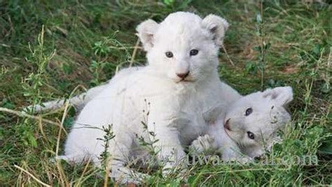 kuwait local | baby tiger and lion cubs for sale
