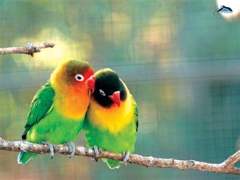 pappagallini inseparabili alimentazione inseparabili