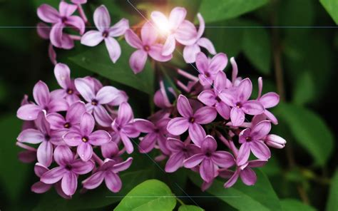 lilac flower meaning beautiful spring spring wallpaper 27865947 fanpop