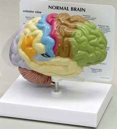 How To Make A Paper Mache Brain - how to make a model brain out of paper mache ehow