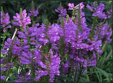 obedient plant by nita photo weather underground