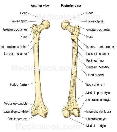 human bone anatomy diagram leg bone anatomy human anatomy diagram