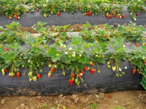 coltivare fragole in casa coltivare le fragole in casa su vaso o terreno pratici e
