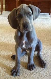 blue great dane puppy 92 curated blue great danes ideas by chefjamier blue great danes great dane puppies