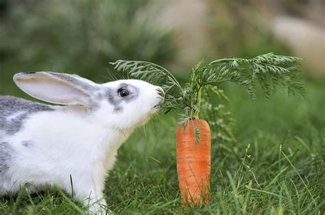 do rabbits really carrots howstuffworks