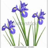 Iris Flower Clip Art Free   Clipart Panda - Free Clipart Images