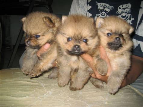 show quality pomeranian dunia anjing jual anjing pomeranian jual puppies mini pomeranian show quality