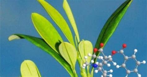 cara membuat zpt tumbuhan cara tumbuhan membuat kokain tanaman koka erythroxylum