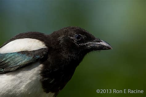 front side back juvenile juv back eating close ups close ups 2 flying juvenile magpie close up this juvenile magpie pica