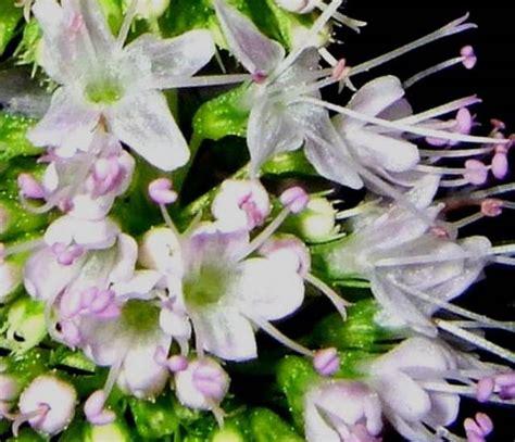 fiori di menta pianta della menta aromatiche caratteristiche della