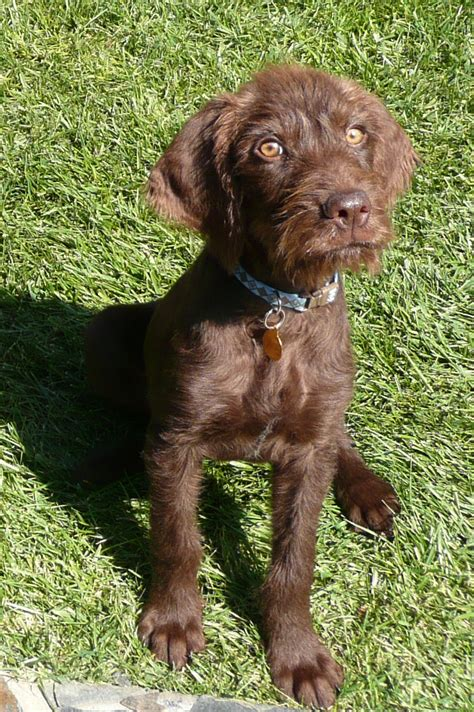 pudelpointer puppies german shorthaired pointer poodle mix breeds picture