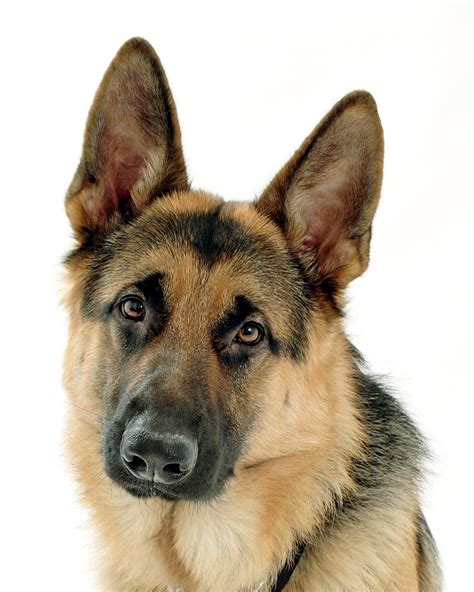 german shepherd german shepherd