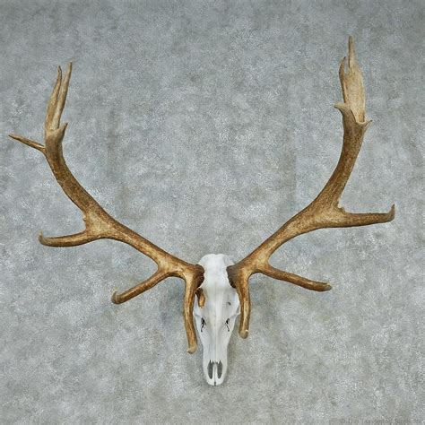elk antler european mount for sale 12609 the taxidermy