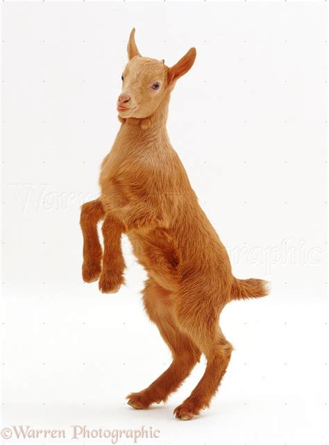 Ginger goat standing on hind legs photo - WP22933
