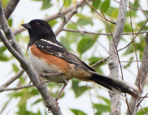 bird hybrids spotted towhee x eastern towhee