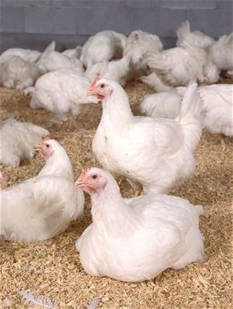 Backyard Chickens Extension Which Chicken Breed Is Best For Small And Backyard Poultry