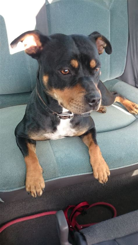 rehoming rottweilers staffy x rottweiler for sale rehoming devizes wiltshire pets4homes