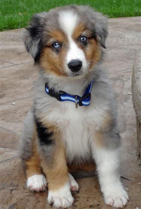 aussie rescue puppies 17 best ideas about miniature australian shepherds on australian shepherd