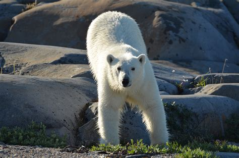 another polar season underway churchill polar bears