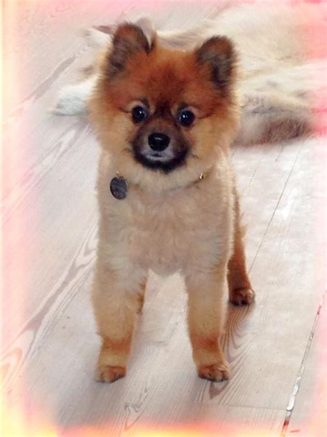 oldest pomeranian 3 year pomeranian woodford green essex pets4homes