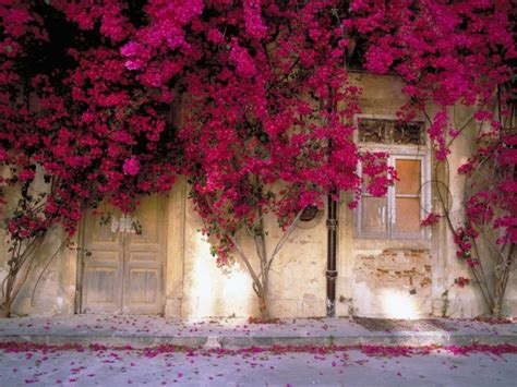 hot pink flower trees  front    house widescreen