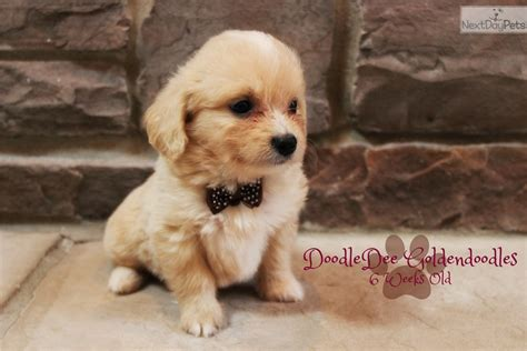 goldendoodle puppy for sale chicago goldendoodle goldendoodle puppy for sale near chicago