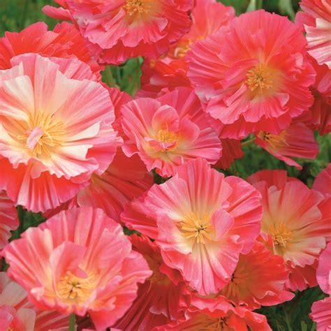 Biji Benih California Poppy Ballerina Mix benih california poppy pink 20 biji non retail bibitbunga