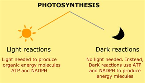 what are and light reactions in photosynthesis