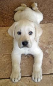 are labs and golden retrievers the same saved by dogs golden retriever really a better breed than the labrador